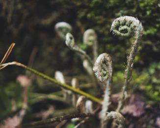 fiddlehead fern, hocking hills, fern, summer, beltane, spring